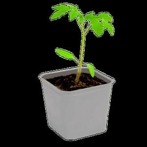 11 важных правил здоровой и урожайной  рассады