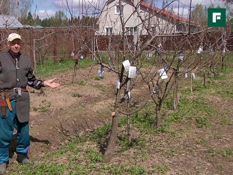 Весенние садовые работы с плодово-ягодными деревьями